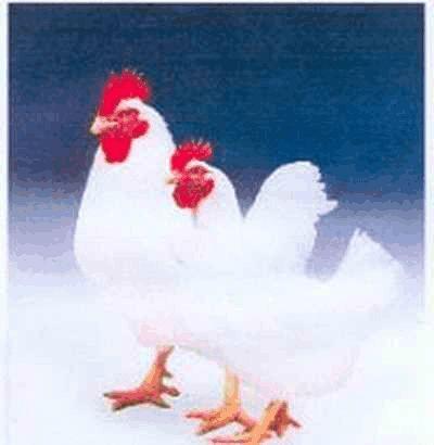 肉鸡养殖可研报告